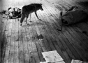 joseph_beuys_i_like_america_and_america_likes_me_04